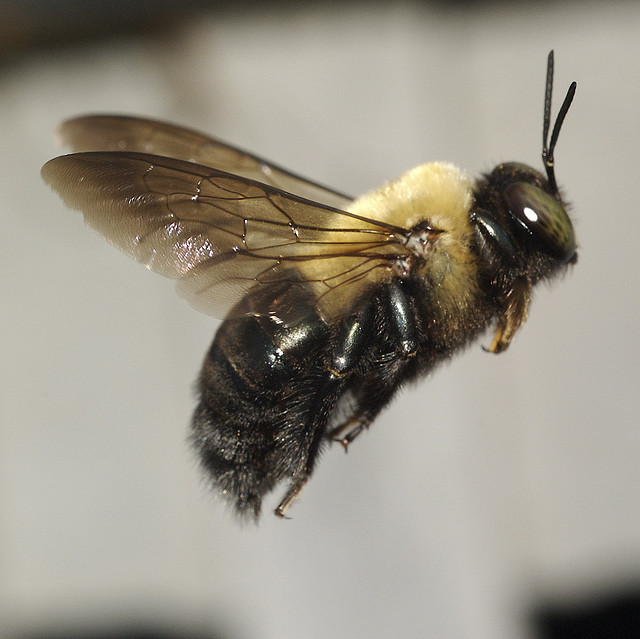 Bee Ography The Eastern Carpenter