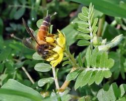 Gaint Honey Bee