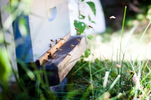 bees flying outside hive