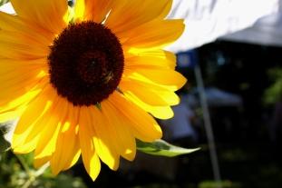 Plonski bee sunflower