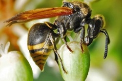Mexican Honey Wasp (Brachygastra mellifica)
